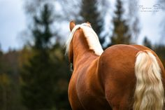 Haflinger Horse Palomino horse
