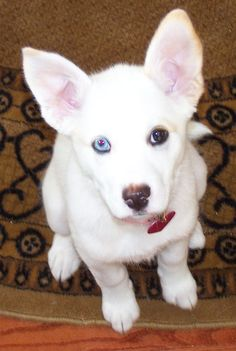 Pitsky Information and Pictures, American Pit Bull Terrier / Siberian Husky Hybrid Dogs.looks like my baby Husky Pitbull Mix, Rottweiler Puppies, Dogs Pitbull, Pitsky Puppy, Cute Puppies, Cute Dogs, Sweet Dogs, Bull Terrier Dog, Terrier Mix