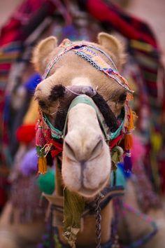 Camel in Marrakesh, Morocco