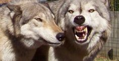 Top Ten Wolf-Dog Hybrid HD Wallpapers Free Download - Topely.com   Top Ten Things of the World.
