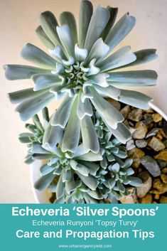 Echeveria 'Silver Spoons' (Echeveria Runyoni 'Topsy Turvy') - All For Garden Cacti And Succulents, Planting Succulents, Cactus Plants, Succulent Names, Succulent Gardening, Echeveria Care, Different Types Of Succulents, Jade Plants, Cactus Y Suculentas