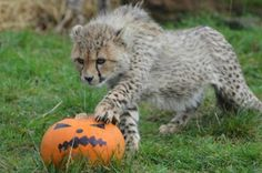 20 best the cute cheetah board images on pinterest big cats cats