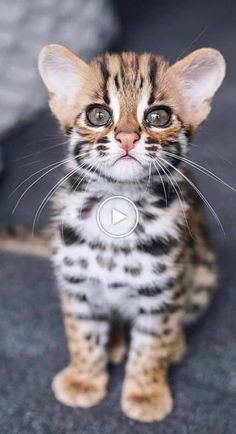 Cute Puppies And Kittens, Cute Baby Cats, Cute Funny Dogs, Cute Cat Gif, Cute Cats And Kittens, Cute Funny Animals, Cute Baby Animals, Kittens Cutest, Pretty Cats