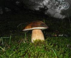 Βωλίτης ο Χάλκειος - Boletus aereus Stuffed Mushrooms, Stuff Mushrooms