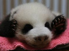 Oreo is one of the seven pandas doctors are hoping to release into the wild.