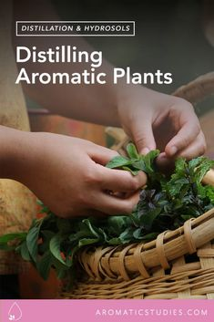 Distilling Your Own Hydrosols - New York Institute of Aromatic Studies