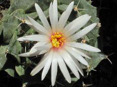 Obregonia denegrii – Artichoke Cactus - See more at: http://worldofsucculents.com/obregonia-denegrii-artichoke-cactus/