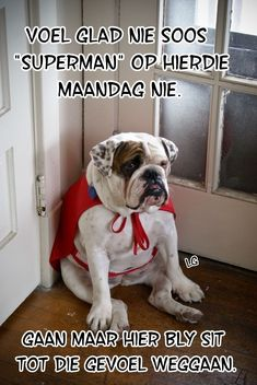 The major breeds of bulldogs are English bulldog, American bulldog, and French bulldog. The bulldog has a broad shoulder which matches with the head. Funny Animal Memes, Funny Dogs, Cute Dogs, Funny Animals, Cute Animals, Funny Humor, Dog Humor, Animal Quotes, Funny Stuff