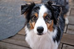 aussie dog - Google Search