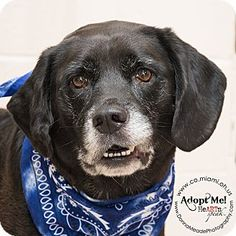 Troy, OH - Labrador Retriever Mix. Meet Dodger, a dog for adoption. http://www.adoptapet.com/pet/13340682-troy-ohio-labrador-retriever-mix
