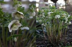 I feel like a very late joiner to the Hellebore Appreciation Society. For years, come mid winter, all of my gardening friends would be crawling around in their flower beds, heads cocked to the sky, admiring the pretty nodding flower of their prized hellebores. I would usually get down in the mud too and halfheartedly admire …