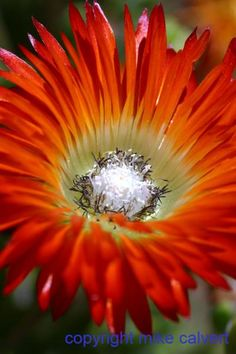 orange ice plant (vygie mesembryanthemum)