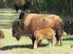 Bison and calf - Yukon Wildlife Preserve Whitehorse, Yukon, Canada Wild Animals Pictures, Animal Pictures, Yukon Territory, Arctic Fox, Some Pictures, Mammals, Wilderness, Habitats, Trail