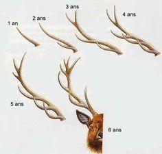 30 Meilleures Images Du Tableau Bois Cerf Antlers Deer Antlers Et