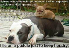 pitbulls quotes | ... of Pit Bulls and why? (pitbulls, shepherd, lab) - - City-Data Forum