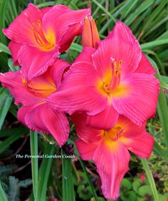 Daylilly  Need these by the pool!