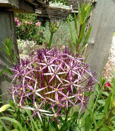 """allium christophii-jardins vichy à visiter-production et vente directe-""""Les Jardins des Hurlevents """" http://www.plantes-vivaces-hurlevents.com/"""