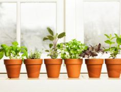 The easiest herbs to grow indoors...lemongrass, chives, mint, parsley, vietnamese coriander, oregano, thyme, rosemary, basil.