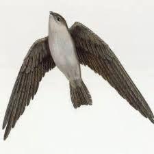 bornean swiftlet collocalia dodgei animals birds page