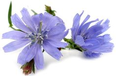 Health Benefits of Chicory | Organic Facts