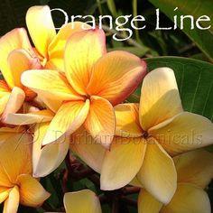 Orange Line Plumeria