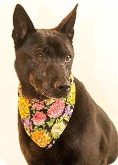 #WASHINGTON ~ Agatha is a 10yo Thai Ridgeback mix - Originally, a staff member fell in love w/ her & fostered her. She's lived w/4  dogs large & small & 3 cats & did very well. She also got along great w/ children! She got adopted & was returned b/c she chased the neighbor's cattle & her owner couldn't afford a fence. She's in need of a loving family w/ a fenced yard at the HUMANE SOCIETY for SW WASHINGTON 1100 NE 192nd Ave #Vancouver WA 98684 adoptions@southwesthumane.org  Ph 360-693-4746