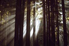 Sunlight Through the Redwoods 2 - Fototapeten & Tapeten - Photowall
