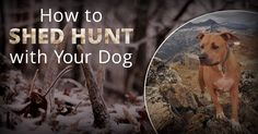 The joys of bird & shed hunting with his dog that can extend the season with your best friend. Read how to prepare your dog.