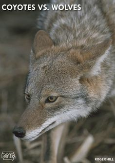 Know how to tell a coyote from a wolf with 4 quick tips | Iowa DNR