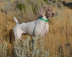 Piebald Weimaraner on point