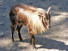 Furry Goat