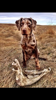 Red Catahoula Leopard Dog