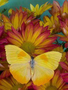 The Orange Barred Sulphur Butterfly