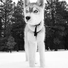 Snow face. #husky