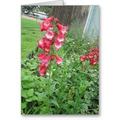 Red #Penstemone Greeting Card http://zazzle.com/rinchen365flower*  #Mother's Day    #Birthday   #sympathy