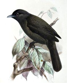 Ada de l'Orénoque - Knipolegus orenocensis