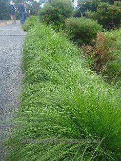 FRONT SLOPE MIXED WITH EXISTING GRASS: Lomandra longifolia 'Breeze'