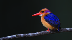 Pygmy Kingfisher by David Knox-Whitehead