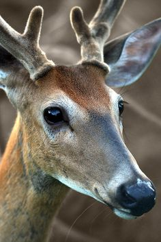 Buck, I like your nose and your antlers