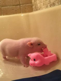 Bath time: A mini pig with his pig toys Farm Animals For Kids, Baby Animals Pictures, Cute Little Animals, Little Pigs, Cute Funny Animals, Cute Baby Pigs, Baby Piglets, Cute Piglets, Peppa Pig Funny