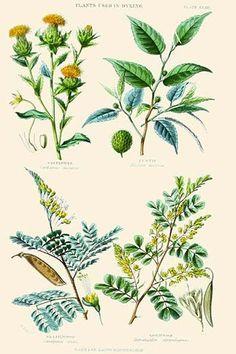 Plants used in dyeing. Safflower, Fustic, Brazil Wood, Logwood