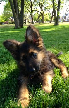 "My dog ""Friday"". A long haired German Shepherd puppy."