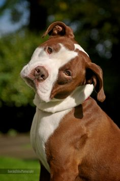 Uplifting So You Want A American Pit Bull Terrier Ideas. Fabulous So You Want A American Pit Bull Terrier Ideas. Amstaff Terrier, Pitbull Terrier, Bull Terriers, Cute Puppies, Cute Dogs, Dogs And Puppies, Beautiful Dogs, Animals Beautiful, Baby Animals