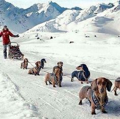 If this were real...this guy would get nowhere fast. Two of these dogs already look like they want a treat break,
