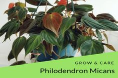 philodendron micans thrives in moist and well-draining soil.Micans also can tolerant lower light conditions than most house plants Best Picture For house plants decor succulents For Your Taste You are