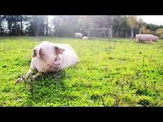 Student Makes Last-Ditch Effort to Save Pigs Destined for Slaughter | PETA's Blog | PETA