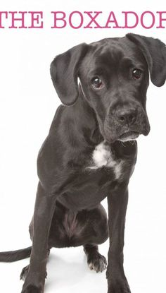 Boxer Lab Mix - A Guide To The Boxador - The Happy Puppy Site Boston Terrier Boxer Mix, Boxer Lab Mix Puppies, Boxador Puppies, Pitbull Boxer Mix, Brindle Boxer, Boxer Dogs, Doggies, Training Your Dog, Training Tips