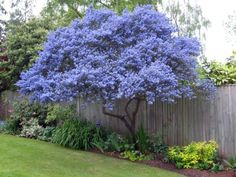 Ceanothus Joyce Coulter Creeping Mountain Lilac. Californain Lilac grown as a small tree.