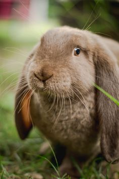 French Lop, Bunny Pics, Holland Lop, Little Critter, Rodents, Bunny Rabbit, Hare, Rabbits, Snuggles
