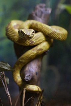 """Beautiful golden lancehead (Bothrops Insularis), this snake species is only found in a tiny island of the coast of Brazil, called """"Ilha da Queimada Grande"""" in portuguese. Photo credit: Daniel De Granville"""